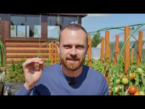 Лучшие сорта томатов для открытого грунта | Золотое семечко | собираемурожай | загородная | урожайный | телеканал | растения | семечко | золотое | урожай | советы | огород