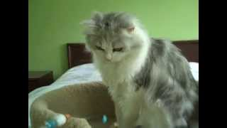 Kaerik RagaMuffin Cat for Adoption