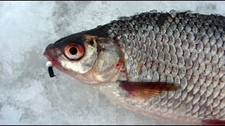 ЛОВЛЯ КРУПНОЙ ПЛОТВЫ НА БЕЗМОТЫЛКУ - Первые Трофеи (Зимняя рыбалка на Безмотылку «Чёртик»)