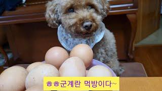 푸들|강아지의 군계란 먹방|오쿠 군계란
