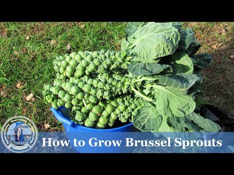 How to Grow Brussel Sprouts ( ADVANCED ) Growing Guide