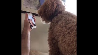 Service dogs response to Facetime/reuniting after owners long hospital stay...
