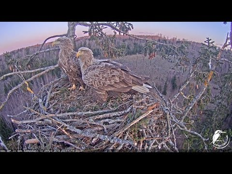LDF Jūras ērglis tiešraide 1 / White-tailed eagle webcam 1 in Latvia