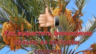 Как вырастить финиковую пальму из косточки-семечки. Видео №1. How to grow a finik palm from seeds.(В этом ролике я расскажу о том как вырастить финиковую пальму из косточки-семечки в домашних условиях. Это..., 2016-03-11T11:44:34.000Z)