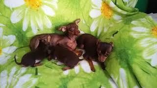 Купить щенка той-терьера в Москве недорого. 8-905-546-66-92