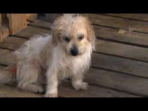 Две больные СОБАКИ сидели в старом доме, а на крыльце раздавался жалобный лай израненного пса
