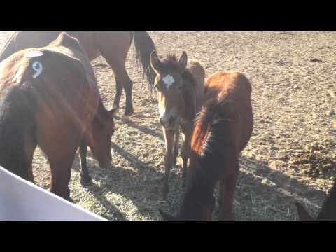 Nevada Virginia Range foals rescued from auction