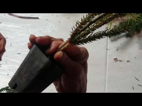 Conifer Grafting - Low Graft