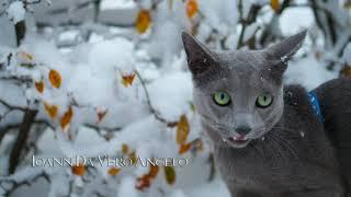 Русский голубой кот в зимних условиях Archangel Blue  Русский голубой кот