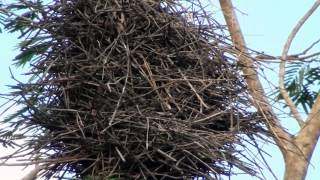 vuclip Bird engineering, Elaborate nests, evidence of strong winds,