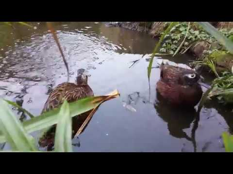 Endangered Laysan ducks foraging in aviary