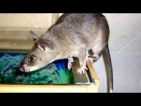 African Pouched Rats: 16 Facts About Gambian Pouched Rats