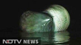 30-feet whale washes ashore Juhu Beach in Mumbai