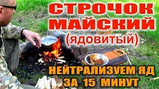 ГРИБЫ СТРОЧКИ - весенние грибы. Нейтрализуем яд за минуты (без сушки) - финская методика.