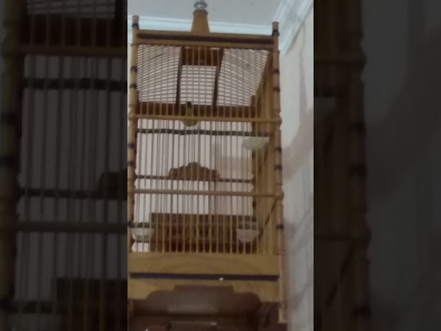 Kolibri wulung birahi
