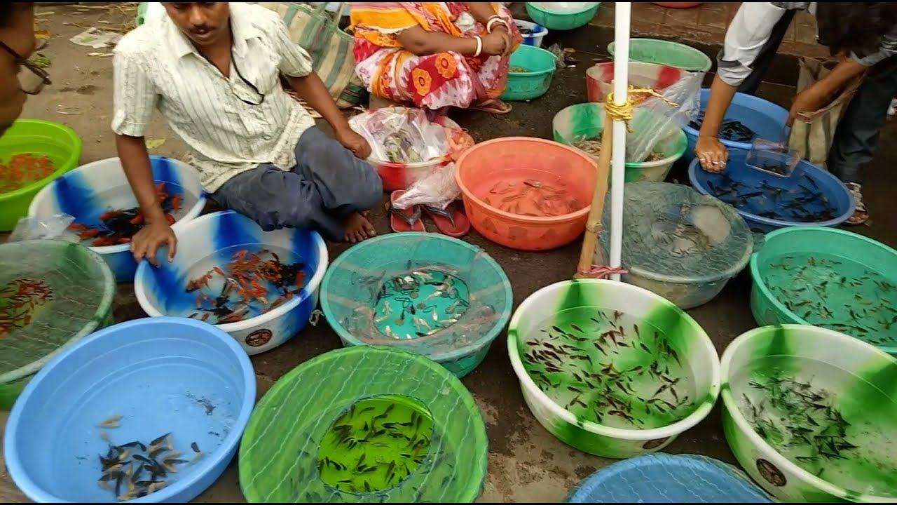 Shyambazar Aquarium Fish Birds Market Kolkata কলক ত র