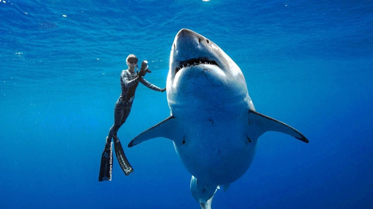 Deep Blue, one of world's largest great white sharks, possibly spotted off ...