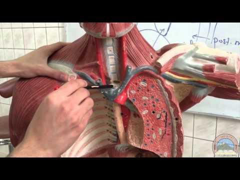 Anatomy of the Thoracic Cavity & Diaphragm