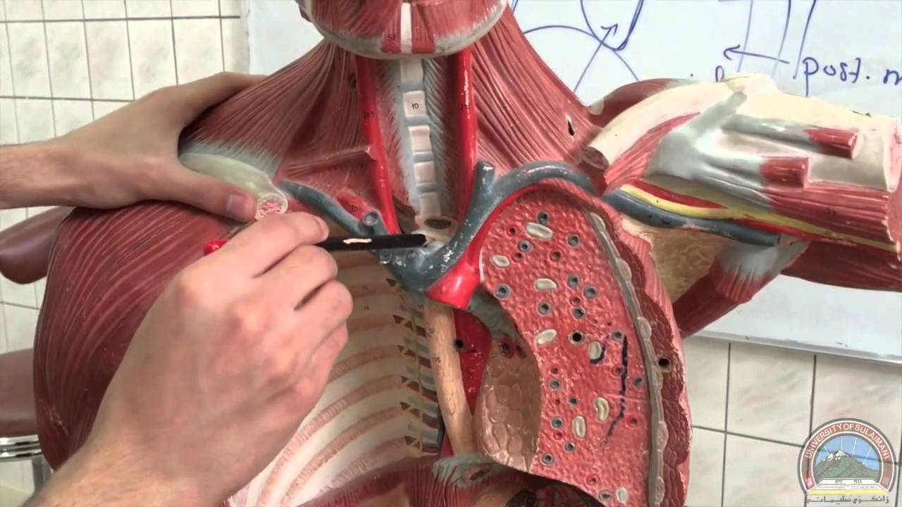 Anatomy Of The Thoracic Cavity Diaphragm Youtube