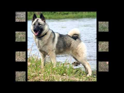 Норвежский Элкхаунд/Norwegian Elkhound (порода собак HD slide show)!