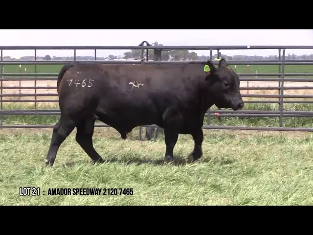 Mid Valley Bull Sale Lot 21