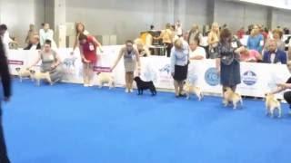 Монпасье Пандора (Мопс) | Всемирная выставка собак 2016