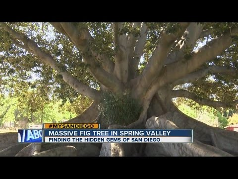 #MySanDiego: The massive Spring Valley fig tree
