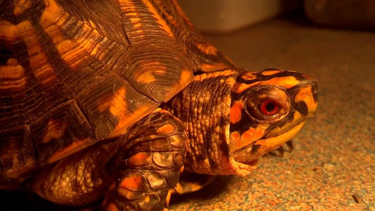 sex of box turtles