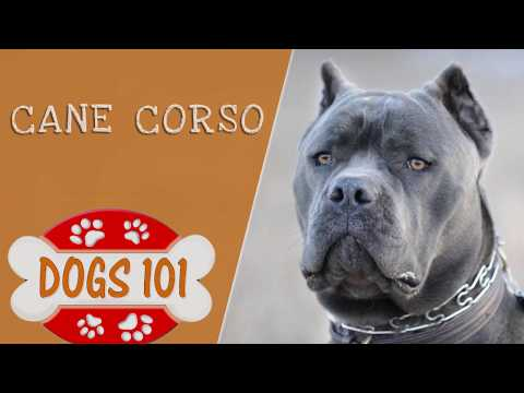 Dogs 101 - Cane Corso - Top Dog Facts About the Cane Corso