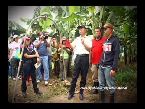 Dealing with Banana Fusarium Wilt TR# in the Philippines - Segment I & II