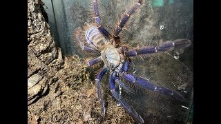 Phormingochilus sp Sabah blue, rehouse and care