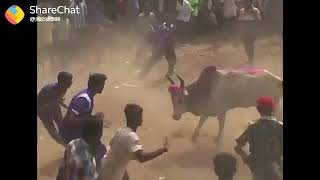 Cow best funny video