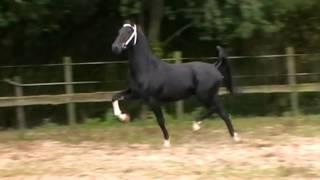 Black Dutch Harness Horse Stallion