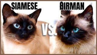 Siamese Cat VS. Birman Cat