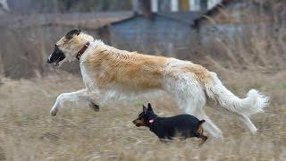 Рай для собак, курсинг, Минск