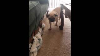 Puppy annoying pug