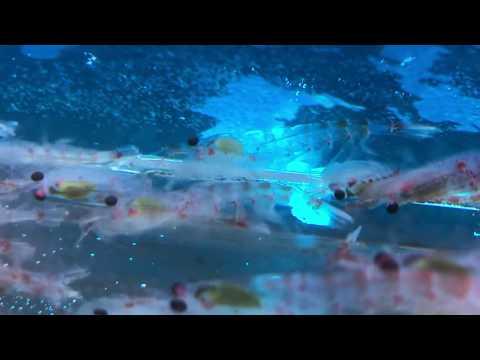Antarctic Krill Gone Wild!!