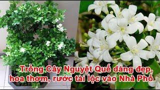 Trồng Cây Nguyệt Quế dáng đẹp, hoa thơm, rước tài lộc vào Nhà Phố