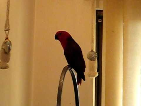 Eclectus Sings to 'I've got a feeling!' By the Black Eyed Peas