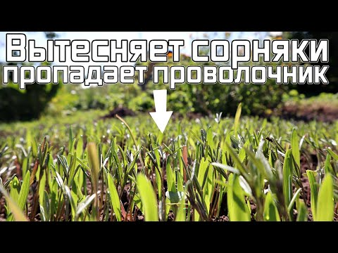 Посейте в конце сентября этот озимый сидерат! Проволочник пропал и сорняков стало меньше в двое!