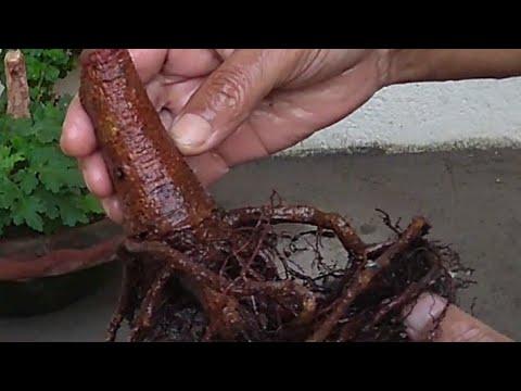 Revive Dying Plant Bonsai Part 2 Youtube