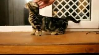 Чудесный котенок Манчкин. Карликовая бенгалка