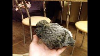 Птенец голубя