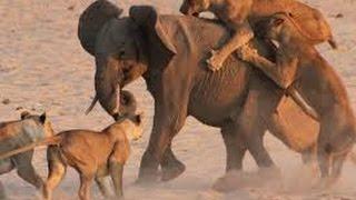 Lions Kill Baby Elephant الاسود تقتل الفيل الصغير ينصح عدم المشاهدة لضعيفي القلوب