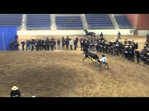 Mid-Atlantic Morgan horse sale 2016
