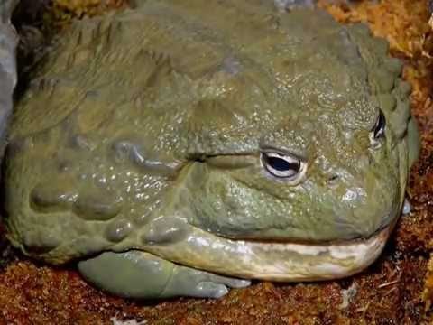Biggest Frog In The World