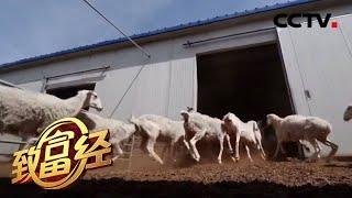 《致富经》 20200629 羊舍里生出别样财  CCTV农业