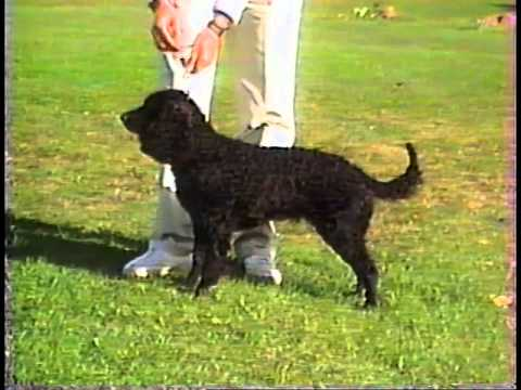 American Water Spaniel - AKC Dog Breed Series