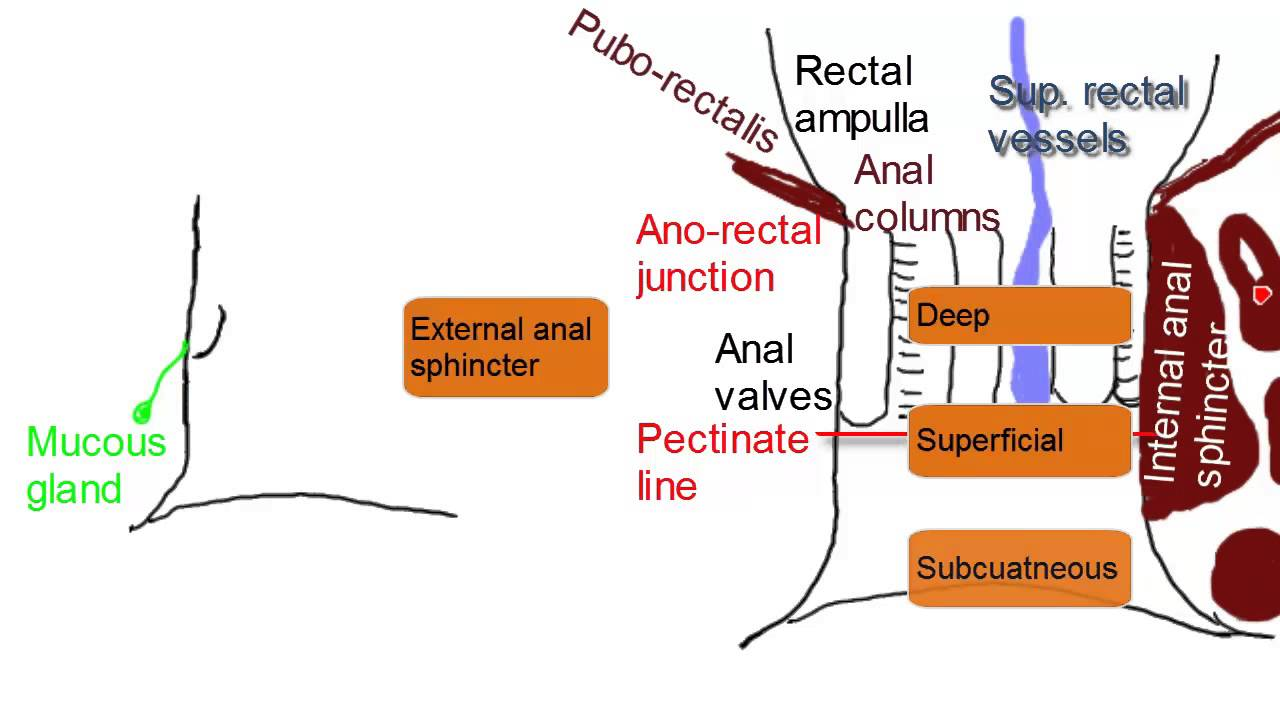 Anal Canal - Simplified Anatomy - YouTube