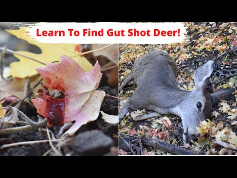 Learn How To Track/Find Gut Shot Deer! | No Excuses Not To Harvest!